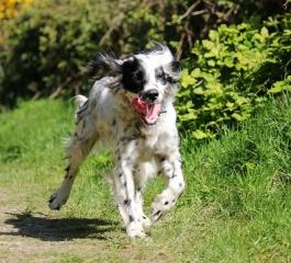 Dog out for a walk, Rostrevor